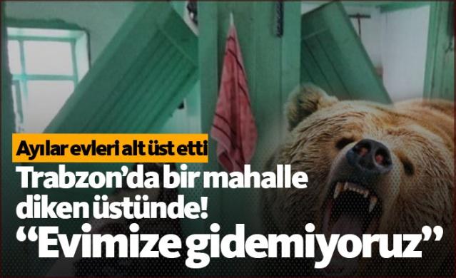 Trabzon'un Şalpazarı ilçesine bağlı Geyikli Mahallesi sakinleri yaz mevsiminde kullandıkları Gücükkiriş Taşdibi mezrasında bulunan yayla evlerine son zamanlarda artan ayı saldırılarından dolayı giremiyorlar.