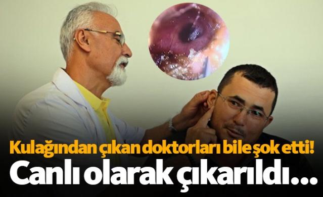 Antalya'da bir vatandaşın kulağına nar ağacını budarken kelebek girdi. Kulak zarına kadar ilerleyen kelebek, hastanede 2 saat sonrası penseyle canlı olarak çıkartıldı. Kelebeği çıkartan doktor ve hasta gözlerine inanamazken, operasyon esnasında zarar görmeyen kelebek doğaya salındı.