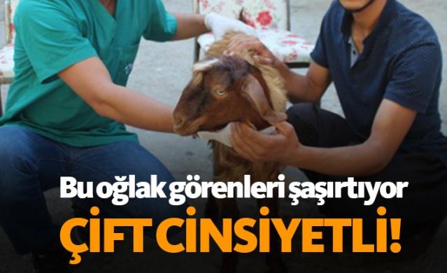 atay'ın Altınözü ilçesinde, Menderes Çaylı'ya ait keçinin dünyaya getirdiği yavrulardan biri çift cinsiyetli çıktı.