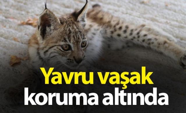 Bayburt'ta nesli tükenmekte olduğu için Uluslararası Doğayı Koruma Birliği tarafından kırmızı listeye alınan yavru bir vaşak, bitkin halde bulunarak koruma altına alındı.
