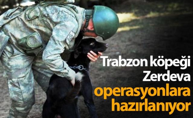 Trabzon köpeği Zerdeva operasyonlara hazırlanıyor