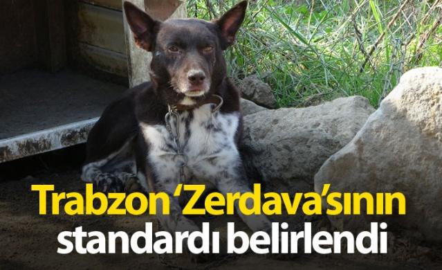 Trabzon'a özgü ırk olan, zeki ve cesur özellikleriyle ön plana çıkan nesli tükenme tehlikesi altındayken bir anda Jandarmanın yeni gözdesi olan 'Zerdava' köpeğinin standardı belirlendi.