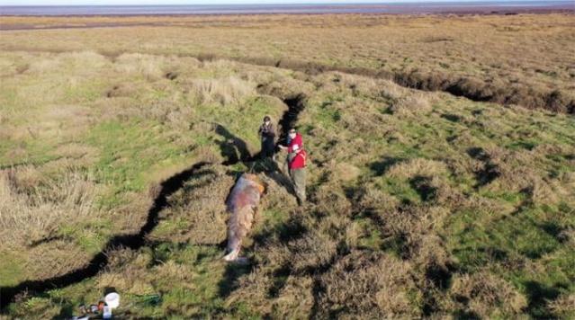 Haftalarca önce öldüğü anlaşıldı, tuz bataklığında bulunan beş metrelik canavarın midesi açıldığında ortaya çıkanlar şok etkisi yarattı.