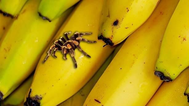 Muz örümceği insanlar için ne kadar ölümcül?
