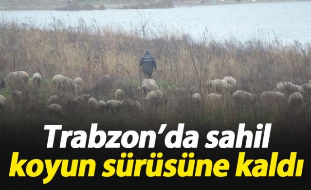Trabzon'da sahil koyunlara kaldı