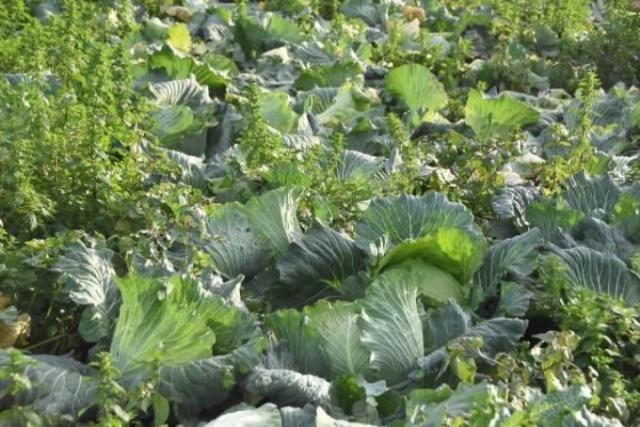 Pandemi döneminde lahanaya ilgi arttı