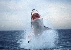 Köpek balığı hamsi ağına takıldı