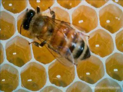 Arı sokmasını hiç merak ettiniz mi?