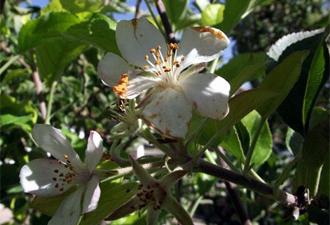 Doğa harikası: Elma çiçek açtı