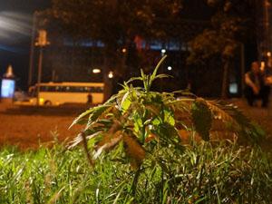 Taksim'de 'Şüpheli Ot' Alarmı