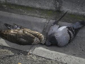 Trabzon'da garip bir atmaca ölümü