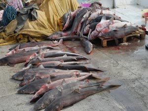 Hamsi avına giden balıkçılar...