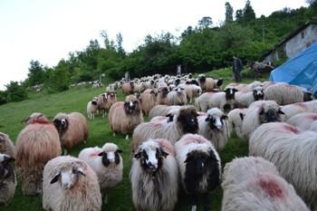 Çobanların yayla yolculuğu başladı