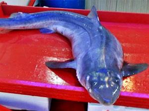 Karadeniz'de ağlara köpekbalıkları takıldı!