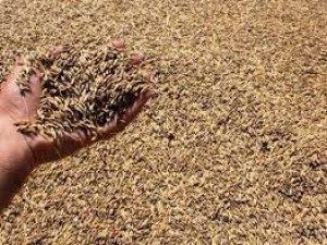 Sezonun ilk arpa hasadı Şanlıurfa'da yapıldı.