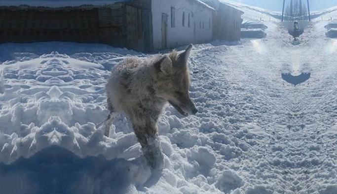 Bayburt'ta ilginç olay: Bir tilki ayakta dondu!