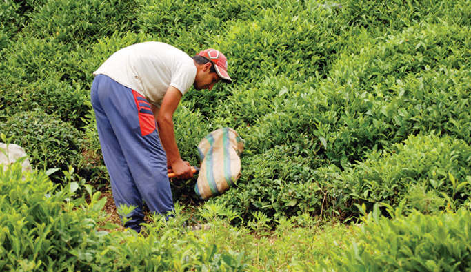 Çaykur Afrika pazarını genişletiyor