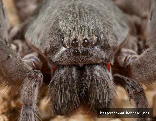 Yeni bir dev örümcek türü keşfedildi