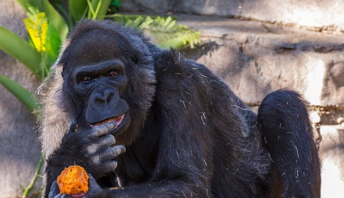 Dünya'nın en yaşlı gorili öldü