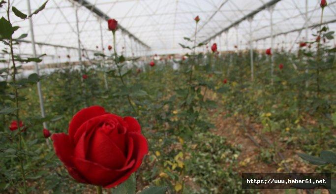 Samsun'da yılda 368 bin gül üretiliyor