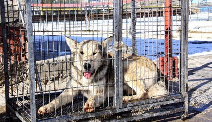 Bayburt'ta korku salan kurt yakalandı