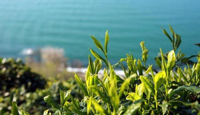Çaykur yaş çay alım kampanyasını başlattı