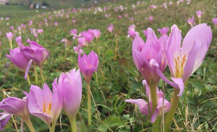 Yaylalarda Vargit çiçekleri açtı