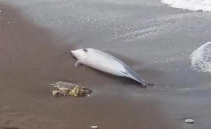 Sahilde ölü yunus kıyıya vurdu