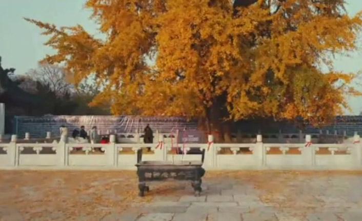 3 bin yıllık ağacın yaprakları görenleri hayran bırakıyor