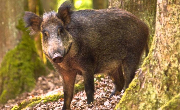 Şehre inen domuz dehşet saçtı