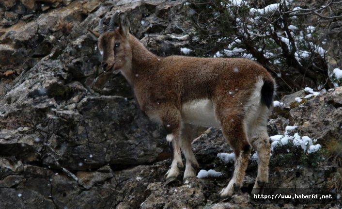 Gümüşhane dağlarının süsü yaban keçilerinin her hali kameralarda