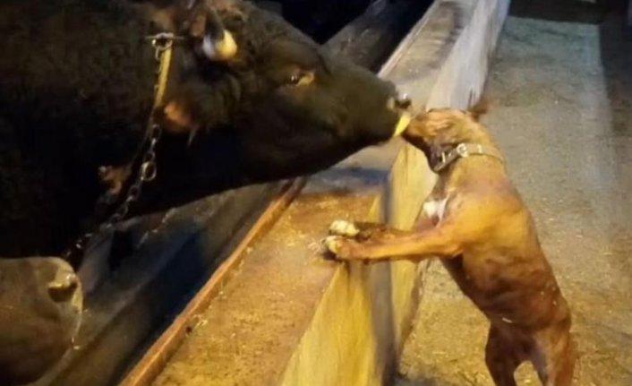 Boğa ve köpeğin şaşırtan dostluğu
