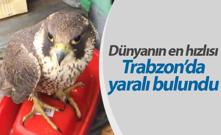Dünyanın en hızlı kuşu Trabzon'da yaralı bulundu