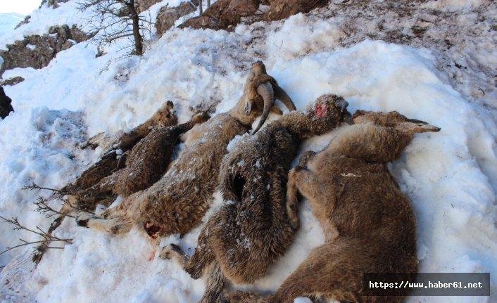 Keçiler soğuktan donarak öldü