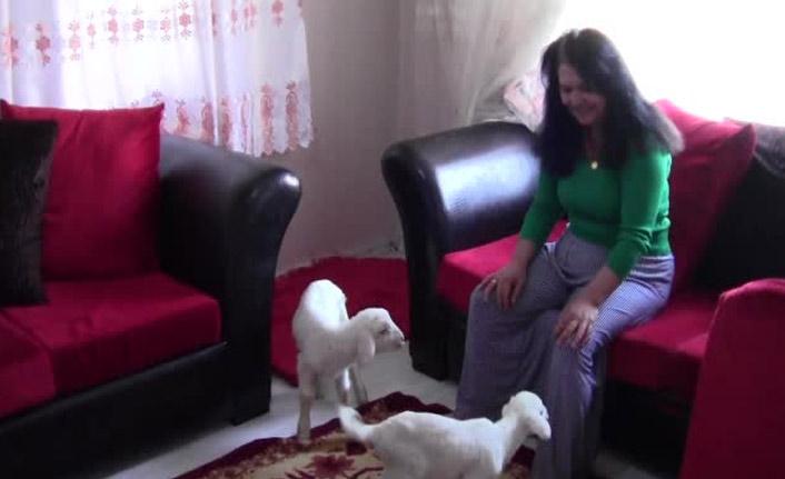 Annesiz kalan kuzulara evini açtı