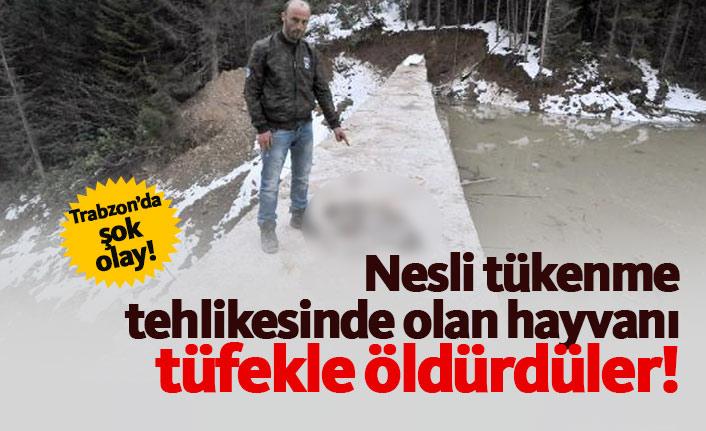 Trabzon'da nesli tükenme tehlikesindeki vaşak öldürüldü!