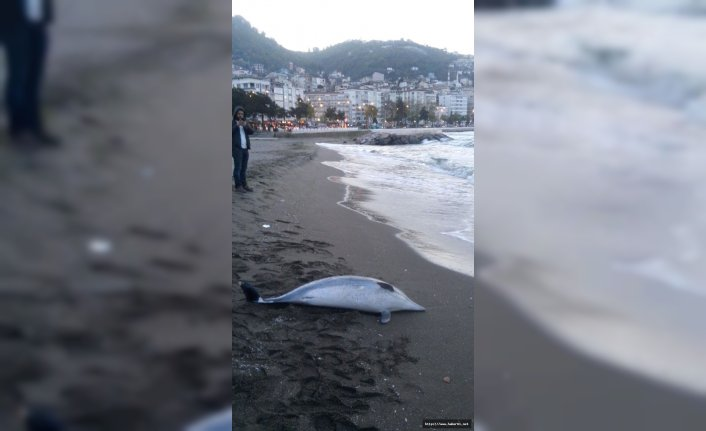 Karadeniz'de yunuslar gırgır ağı kurbanı