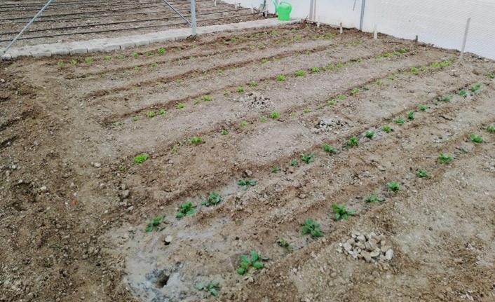 Okulda sebze yetiştiriyorlar