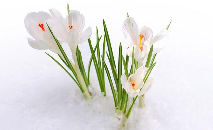 Karları eriten güzellik