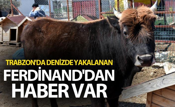Trabzon'da denizde yakalanan Ferdinand'dan haber var