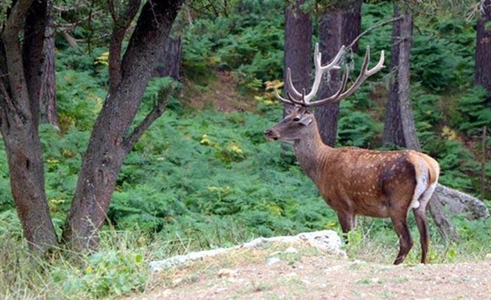 75 kızıl geyik doğaya salındı