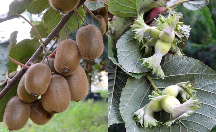 Samsun meyve üretiminde ilk sıralarda yer alıyor