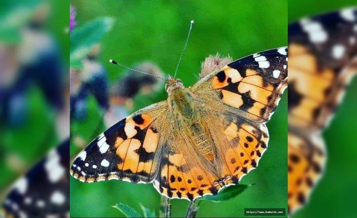 Vanessa' kelebeği zararsız