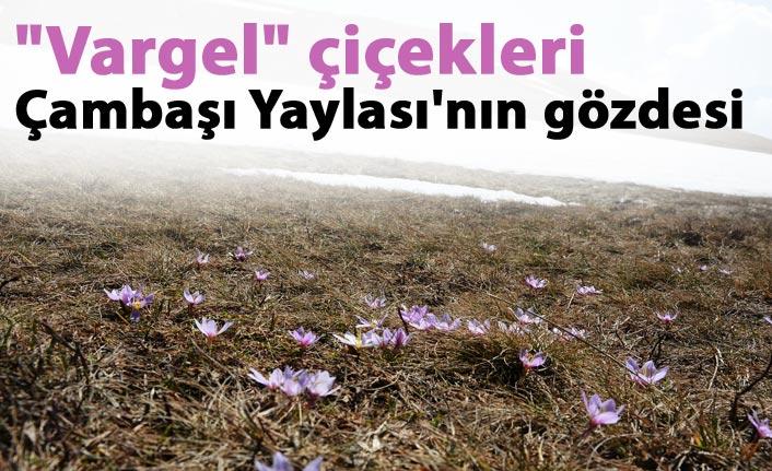 """""""Vargel"""" çiçekleri Çambaşı Yaylası'nın gözdesi"""