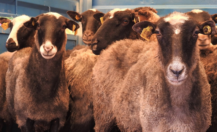Giresun'da çiftçilere 500 koyun dağıtıldı