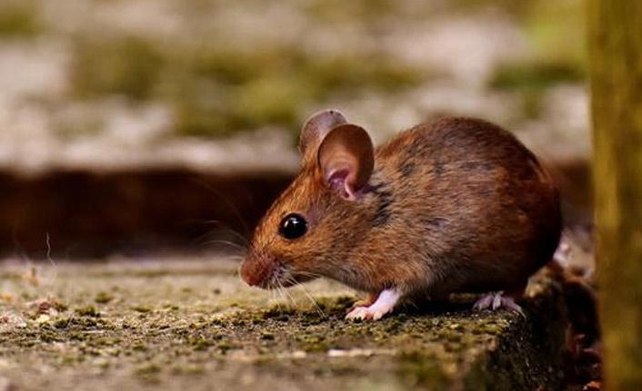 Almanya'da fare virüsü paniği