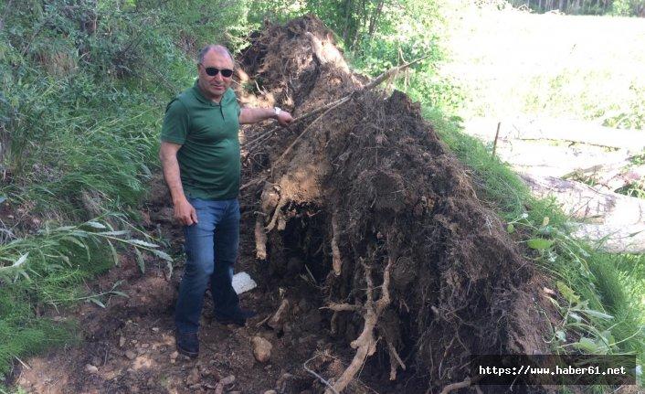 Fırtına ağacı kökünden söktü