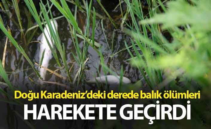 Doğu Karadeniz'deki derede balık ölümleri harekete geçirdi