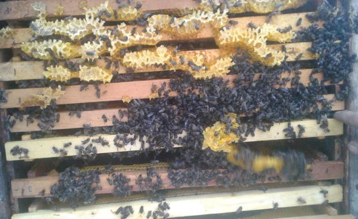 Arılar sıcaktan telef oldu!