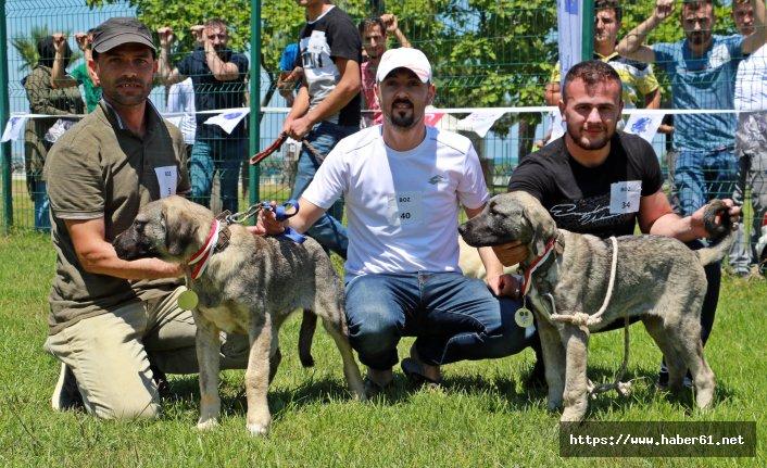 Köpek güzellik yarışması düzenlendi